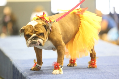 Bulldog in a tutu